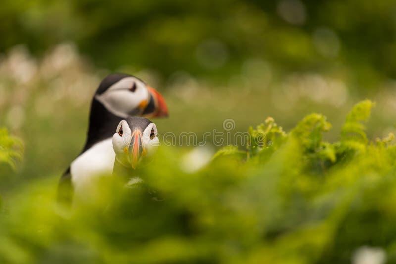 Δευτερεύουσα και μπροστινή άποψη δύο puffins που περιβάλλονται από τη βλάστηση στοκ εικόνες