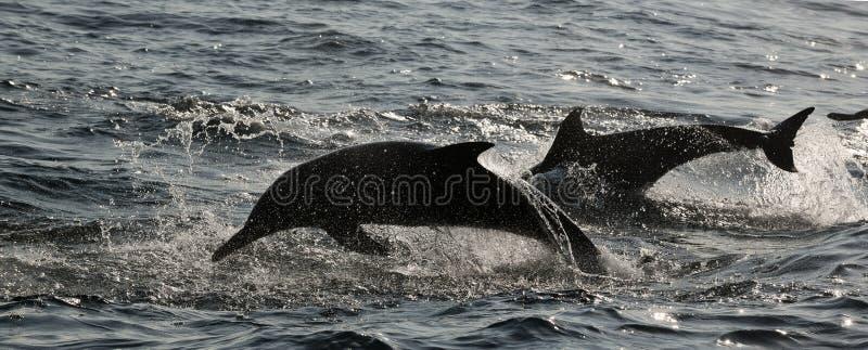 Δελφίνια άλματος. στοκ εικόνα με δικαίωμα ελεύθερης χρήσης