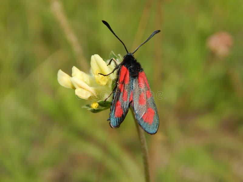 Δηλητηριασμένη πεταλούδα στοκ φωτογραφία με δικαίωμα ελεύθερης χρήσης
