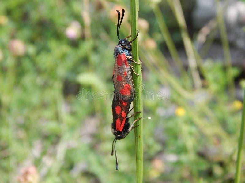 Δηλητηριασμένο ζευγάρωμα πεταλούδων στοκ εικόνες με δικαίωμα ελεύθερης χρήσης