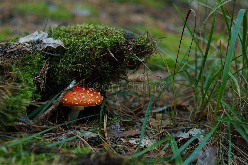 Δηλητηριώδες κόκκινο αγαρικό μυγών μανιταριών στο πράσινο βρύο στο δάσος στοκ φωτογραφία με δικαίωμα ελεύθερης χρήσης
