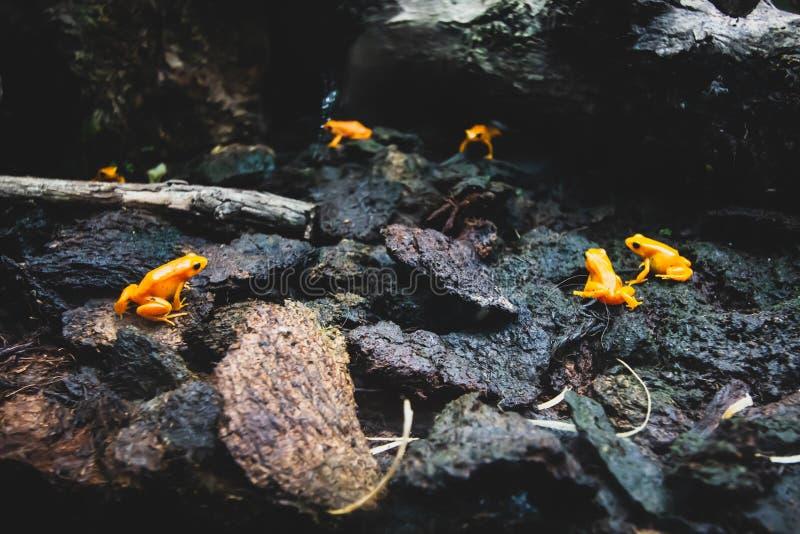 Δηλητηριώδης βάτραχος, δηλητηριώδης βάτραχος Κίτρινος πορτοκαλί Τροπικός βάτραχος στοκ φωτογραφία