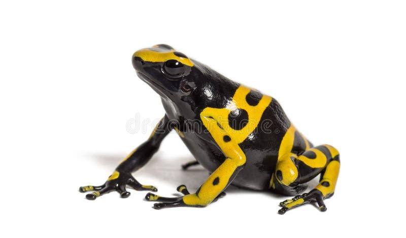 Δηλητηριώδης βάτραχος με κίτρινες ζώνες, Dendrobates leucomelas στοκ φωτογραφίες με δικαίωμα ελεύθερης χρήσης