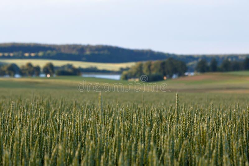 Δημητριακά και το αγροτικό τοπίο στοκ εικόνα