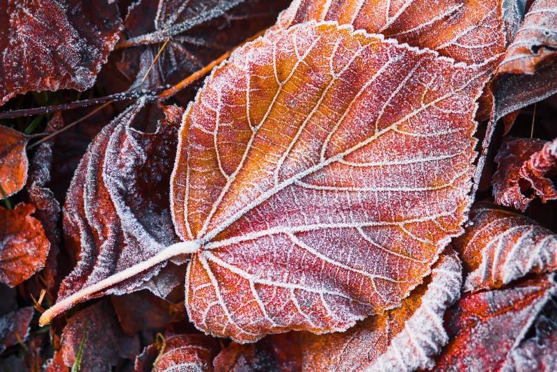 Δημιουργικό σχεδιάγραμμα των παγωμένων φύλλων Hoarfrost στο φύλλωμα φθινοπώρου Έννοια φθινοπώρου Πτώση στοκ φωτογραφία