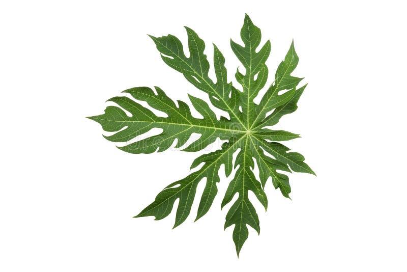 Δημιουργικό σχεδιάγραμμα φιαγμένο από πράσινα φύλλα, υπόβαθρο φύσης, papaya φύλλο δέντρων στοκ εικόνες με δικαίωμα ελεύθερης χρήσης