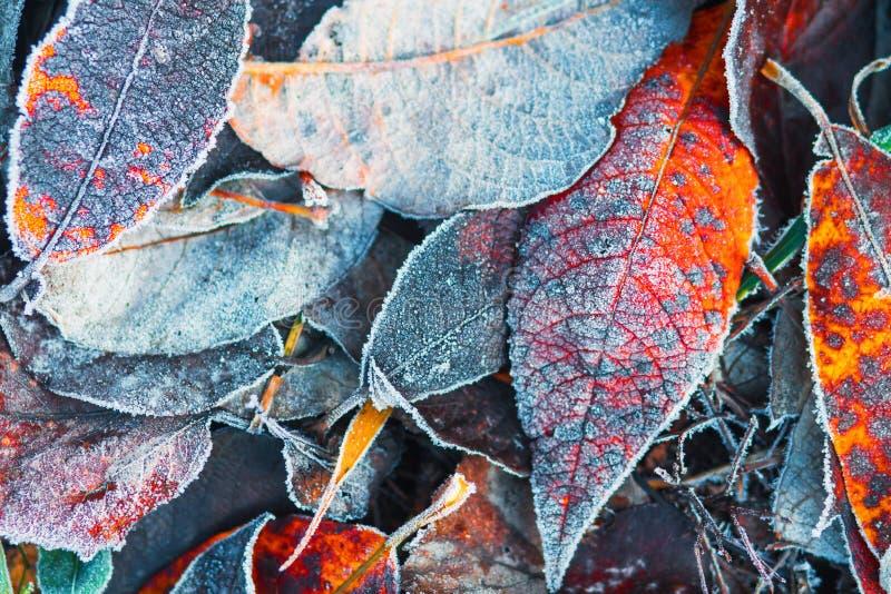 Δημιουργικό υπόβαθρο φύσης φθινοπώρου Παγωμένα φύλλα στη χλόη Hoarfrost στο φύλλωμα Πτώση o στοκ εικόνες
