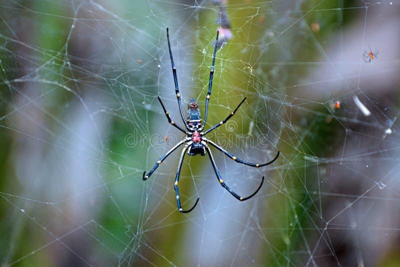 Δηλητηριώδης αράχνη - Μπαλί στοκ εικόνα με δικαίωμα ελεύθερης χρήσης
