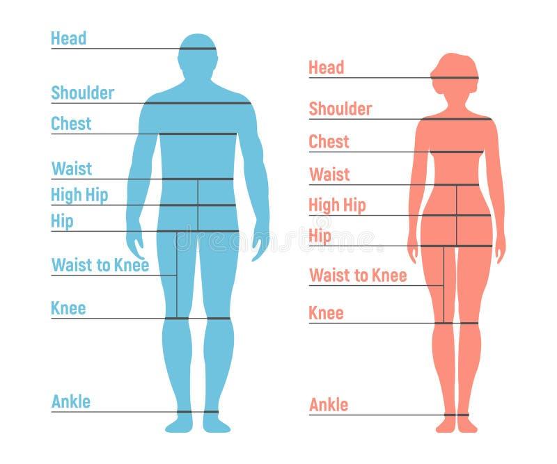 Διάγραμμα μεγέθους ανδρών και γυναικών Ανθρώπινη σκιαγραφία μπροστινής πλευράς απομονωμένος ελεύθερη απεικόνιση δικαιώματος