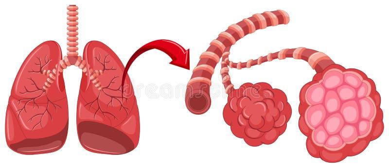 Διάγραμμα πνευμονίας με το ζουμ στους πνεύμονες απεικόνιση αποθεμάτων