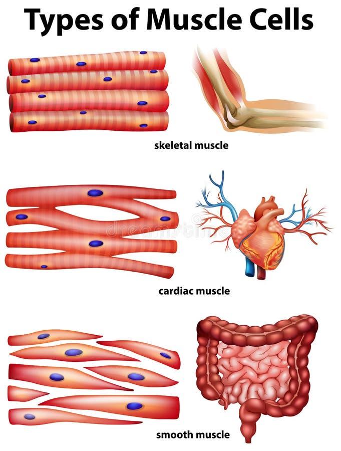 Διάγραμμα που παρουσιάζει τύπους κυττάρων μυών διανυσματική απεικόνιση