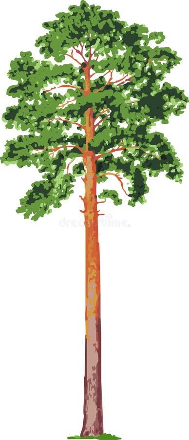 διάνυσμα δέντρων πεύκων ελεύθερη απεικόνιση δικαιώματος