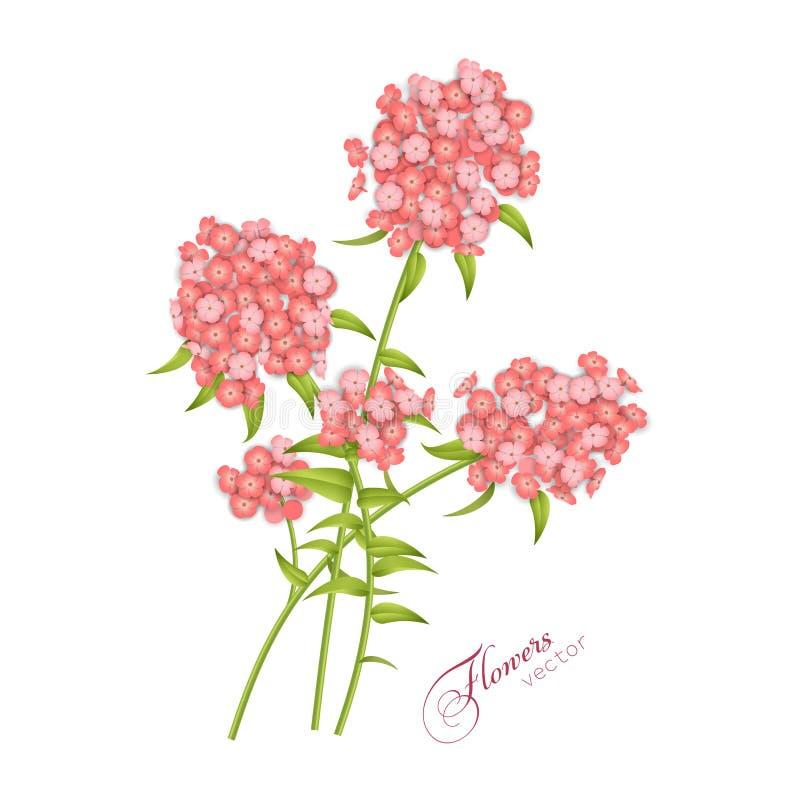 Διάνυσμα λουλουδιών Phlox διανυσματική απεικόνιση