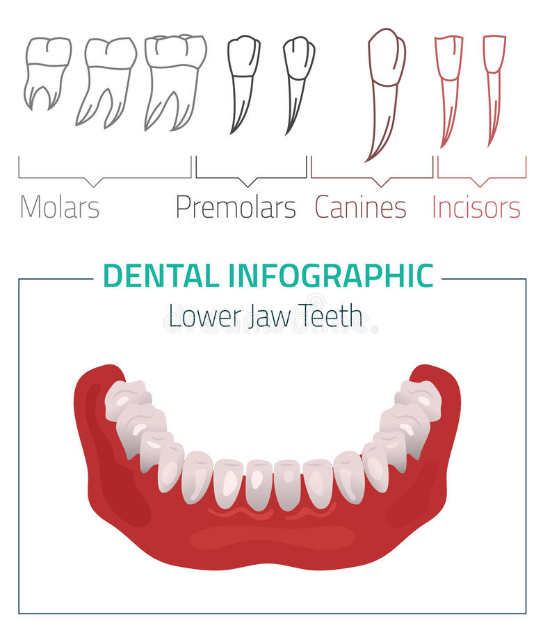 Διάνυσμα δοντιών infographic απεικόνιση αποθεμάτων