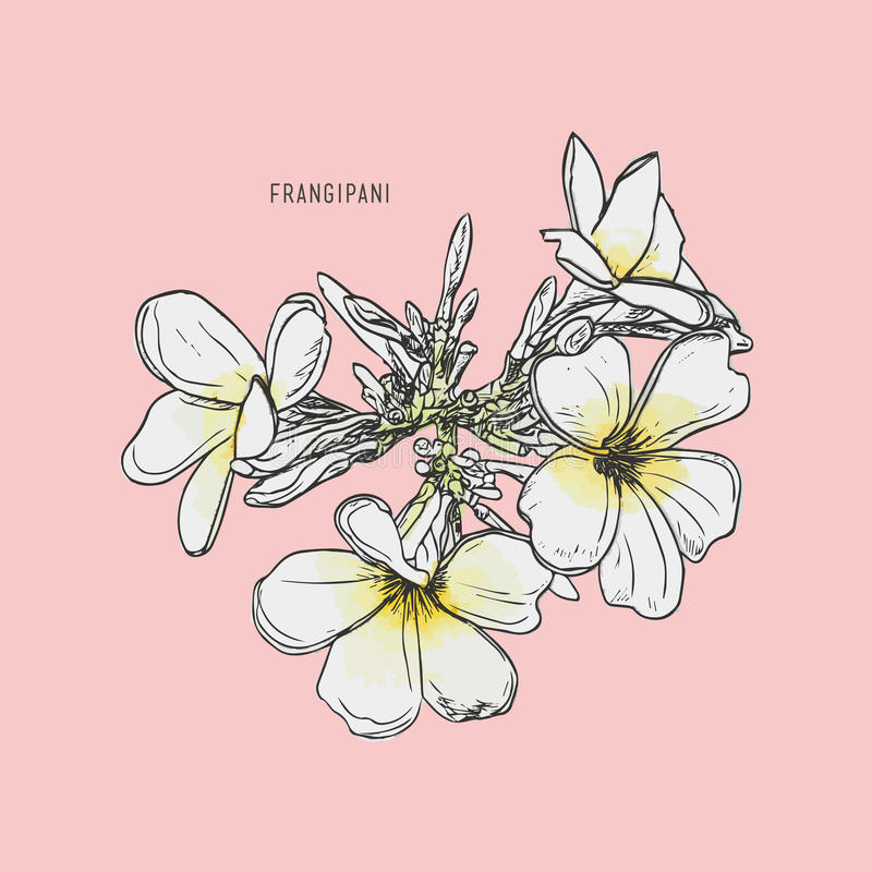 Διάνυσμα λουλουδιών Frangipani διανυσματική απεικόνιση