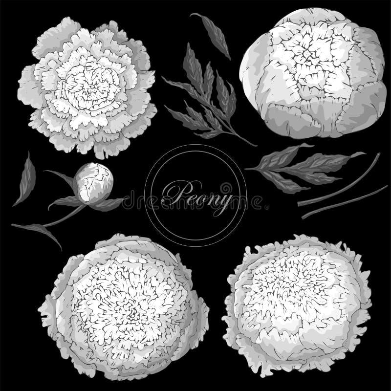 Διάνυσμα peonies Σύνολο απομονωμένων μονοχρωματικών άσπρων λουλουδιών σε ένα μαύρο υπόβαθρο Πρότυπο για τη floral διακόσμηση, σχέ ελεύθερη απεικόνιση δικαιώματος