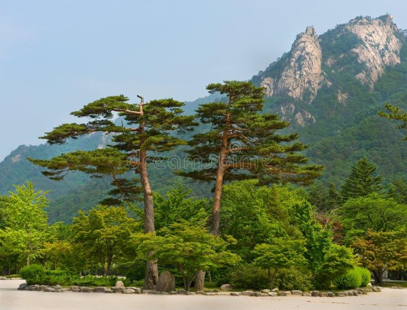 Διάσημα πεύκα ζευγαριού - σύμβολο του εθνικού πάρκου Seoraksan στοκ εικόνα