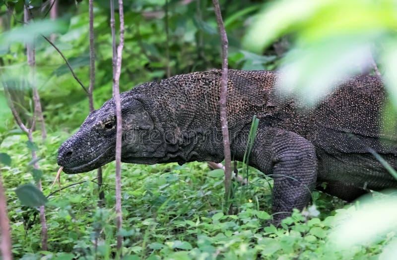 διάσημη σαύρα komodo νησιών της Ιν& στοκ φωτογραφίες με δικαίωμα ελεύθερης χρήσης