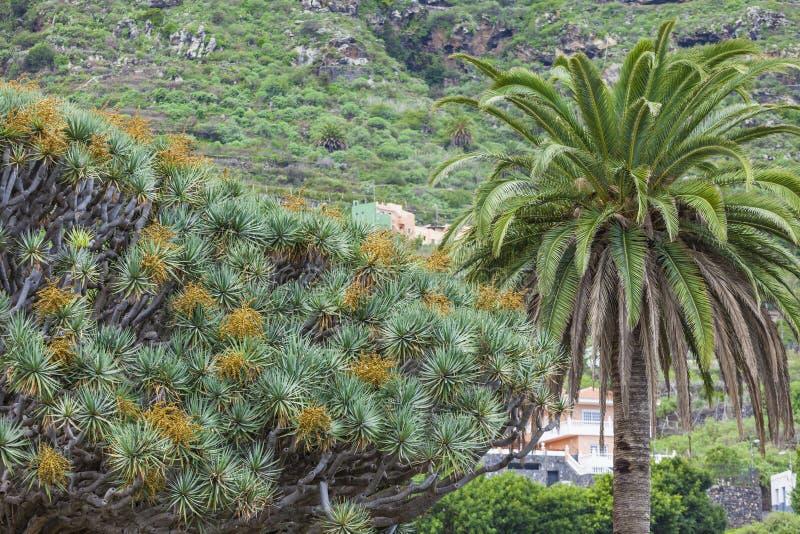 Διάσημο δέντρο δράκων (draco Dracaena) μεταξύ των φοινίκων σε Icod de στοκ φωτογραφίες