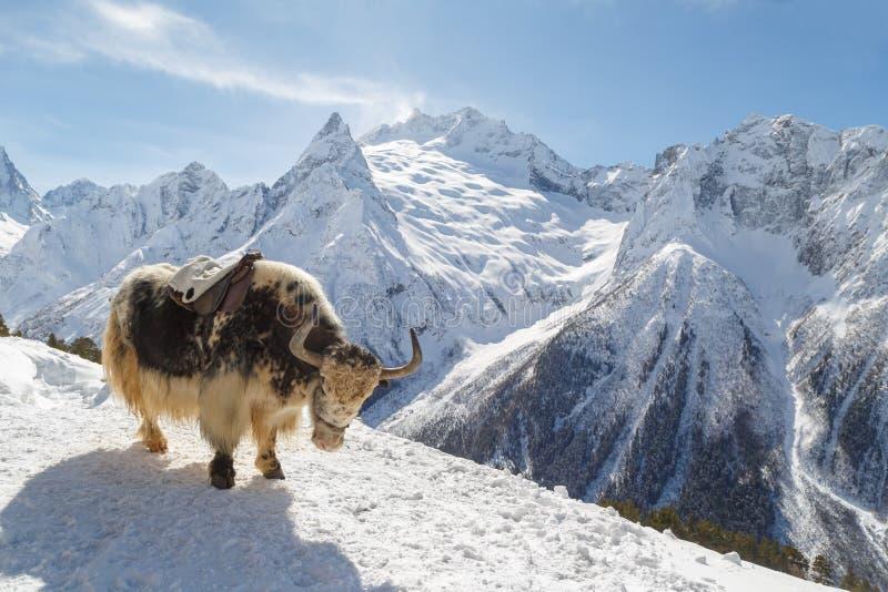 Διάστικτο yak στέκεται mountainside ενάντια στο σκηνικό των καυκάσιων βουνών, Dombai χειμερινό ηλιόλουστο ημερησίως στοκ εικόνες
