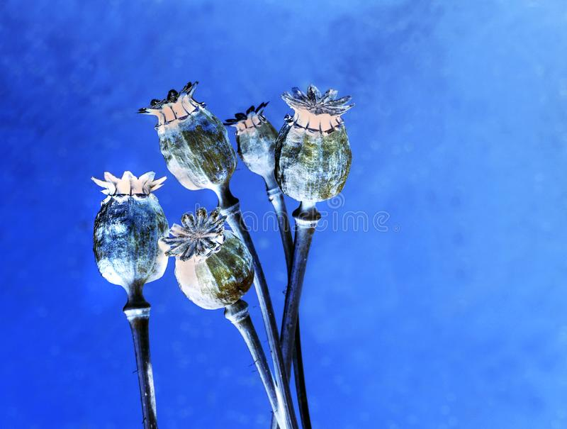 Διάφορα ξηρά κεφάλια παπαρουνών σε ένα ασυνήθιστο φως στοκ φωτογραφία με δικαίωμα ελεύθερης χρήσης