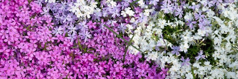 Διάφορα Φλοξ που ανθίζουν στον κήπο την άνοιξη στοκ εικόνες με δικαίωμα ελεύθερης χρήσης