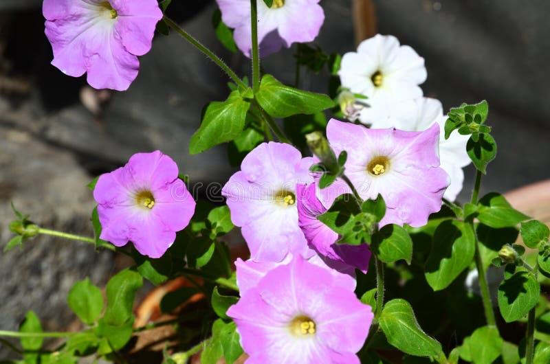 Διάφορα χρώματα λευκού και λιλά πεψιάς λουλούδια την καλοκαιρινή ημέρα στοκ εικόνες