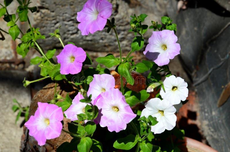 Διάφορα χρώματα λευκού και λιλά πεψιάς λουλούδια την καλοκαιρινή ημέρα στοκ εικόνα με δικαίωμα ελεύθερης χρήσης