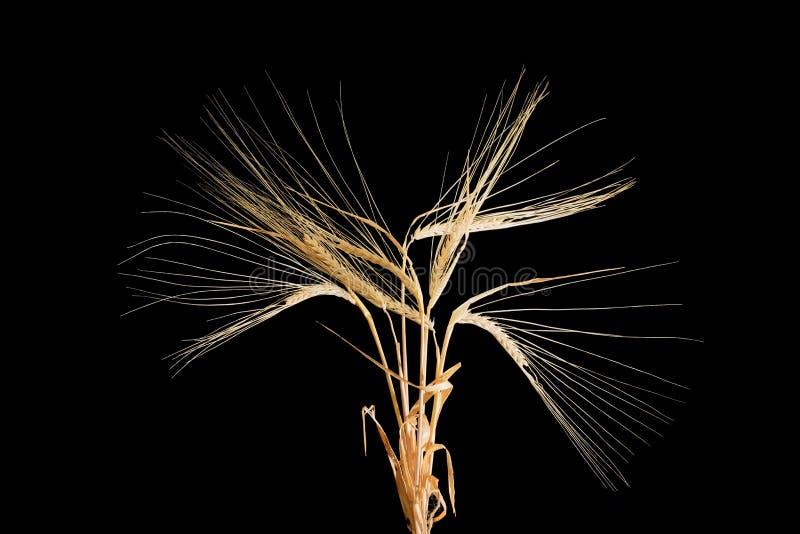 Διάφοροι μίσχοι του κριθαριού με spikelets σε ένα μαύρο υπόβαθρο στοκ φωτογραφία με δικαίωμα ελεύθερης χρήσης