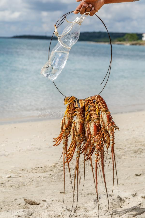 Διάφοροι πρόσφατα πιασμένα μεγάλα καραϊβικά langustas ή ακανθωτοί αστακοί στοκ φωτογραφία