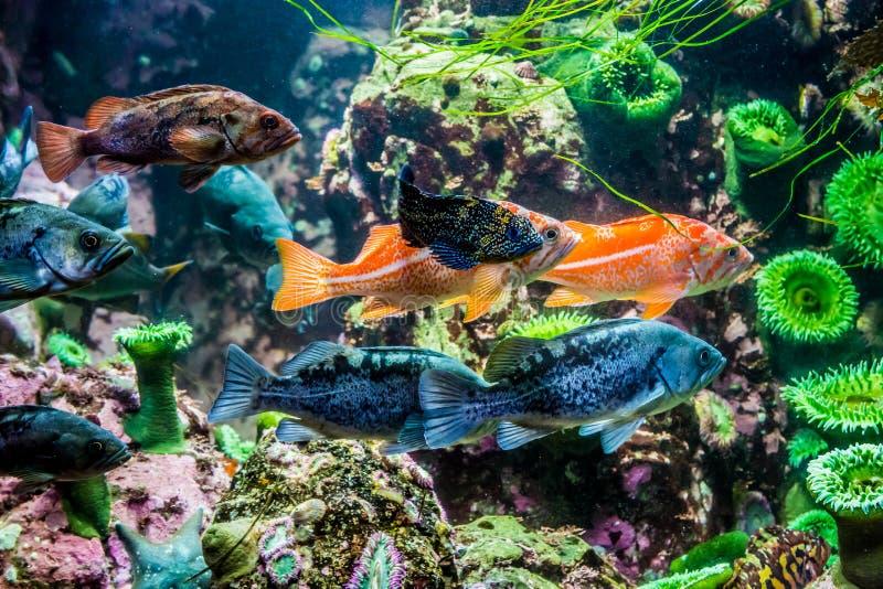 Διάφορος ενδιαφέρων ζωηρόχρωμος grouper-όπως τα ψάρια στοκ εικόνες
