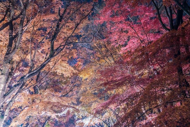 Διάδρομος σφενδάμνου ή σφένδαμνος tennel στοκ φωτογραφία με δικαίωμα ελεύθερης χρήσης