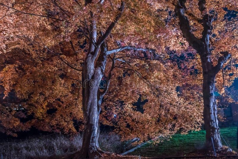 Διάδρομος σφενδάμνου ή σφένδαμνος tennel στοκ εικόνα