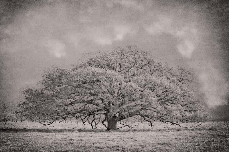 Διαδίδοντας νότιο ζωντανό δρύινο δέντρο στοκ φωτογραφία με δικαίωμα ελεύθερης χρήσης