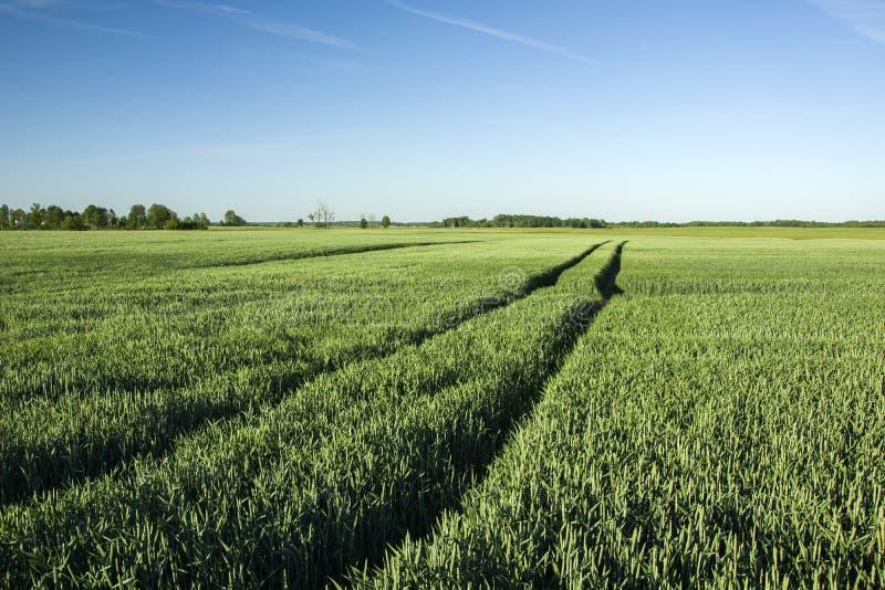 Διαδρομές ροδών στον τομέα του πράσινου σίτου στοκ φωτογραφία