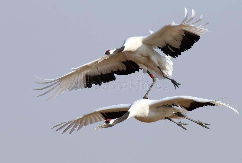 Διαδώστε τα φτερά σας και πετάξτε τους κόκκινος-στεμμένους γερανούς στοκ εικόνες