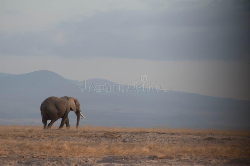 Διακινούμενος ελέφαντας στοκ φωτογραφίες με δικαίωμα ελεύθερης χρήσης