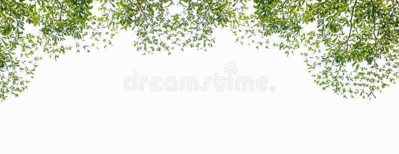Διακλάδωση πράσινων φύλλων σε απομονωμένο λευκό φόντο, με κενό χώρο για κείμενο ή εικόνες για διαφήμιση και αντιγραφή χώρου, bann στοκ φωτογραφίες