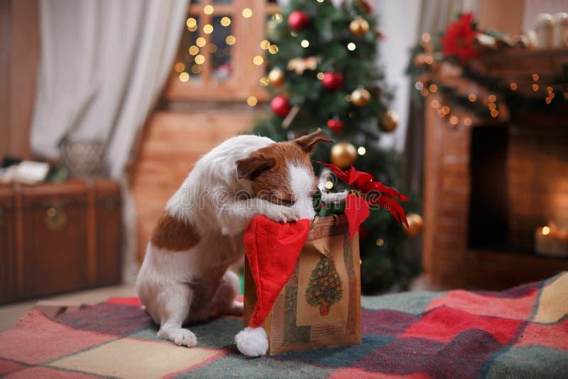 Διακοπές τεριέ του Jack Russell σκυλιών, Χριστούγεννα στοκ φωτογραφία