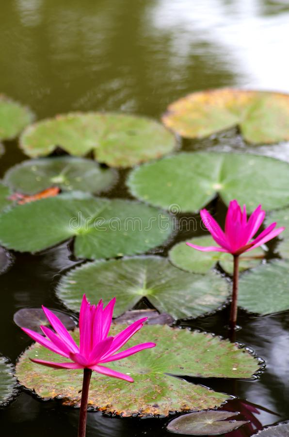 διακοσμήστε τον ελεύθερο χρόνο κήπων φαίνεται λίμνη λωτού στοκ εικόνες