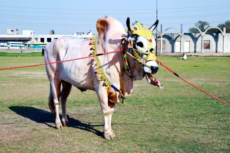 Διακοσμημένο βόδι στοκ εικόνα με δικαίωμα ελεύθερης χρήσης