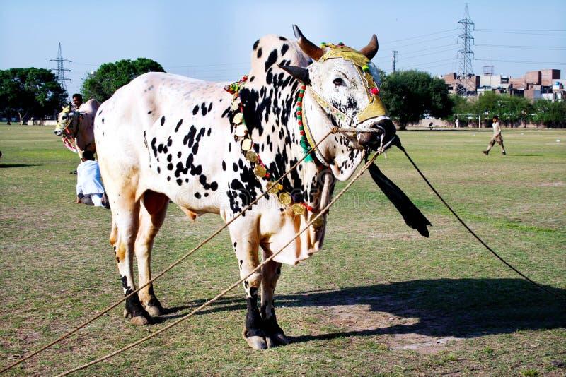 Διακοσμημένο βόδι στοκ φωτογραφία με δικαίωμα ελεύθερης χρήσης