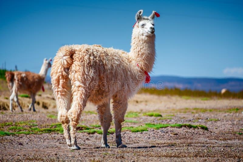 Διακοσμημένο και χαλαρωμένο llama στοκ εικόνα με δικαίωμα ελεύθερης χρήσης