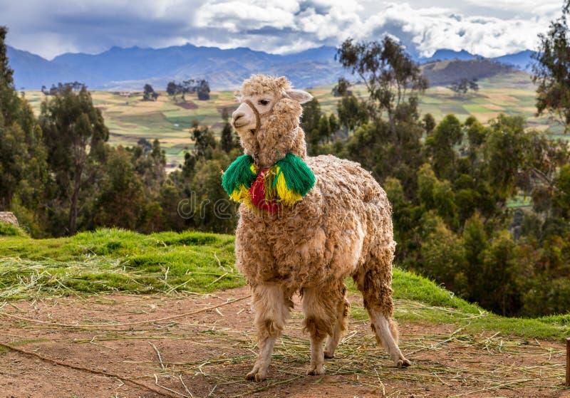 Διακοσμημένο llama που στέκεται στο δευτερεύοντα δρόμο στοκ φωτογραφία