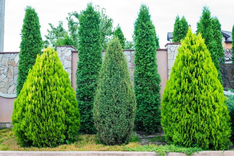 Διακοσμητικά αειθαλή δέντρα για τον εξωραϊσμό στοκ φωτογραφίες με δικαίωμα ελεύθερης χρήσης
