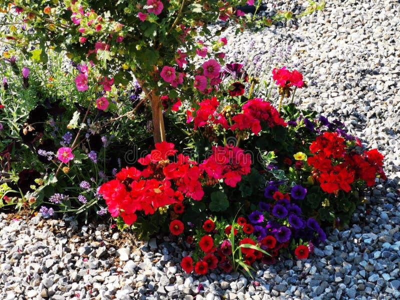 Διακοσμητικά ζωηρόχρωμα λουλούδια στο αμμοχάλικο - πετούνια στοκ φωτογραφία με δικαίωμα ελεύθερης χρήσης