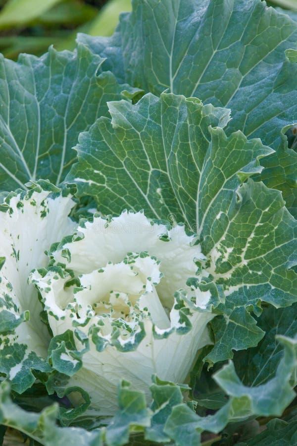 Διακοσμητικά λουλούδια λάχανων στον πράσινο κήπο υπαίθρια στοκ φωτογραφία με δικαίωμα ελεύθερης χρήσης