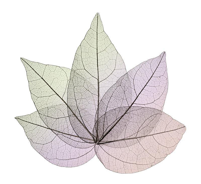 Διακοσμητικά φύλλα σκελετών που απομονώνονται στο λευκό στοκ φωτογραφία με δικαίωμα ελεύθερης χρήσης