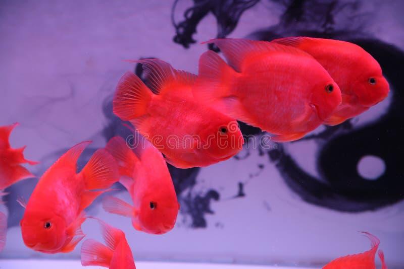 Διακοσμητικά ψάρια, πολύ όμορφα στοκ εικόνα
