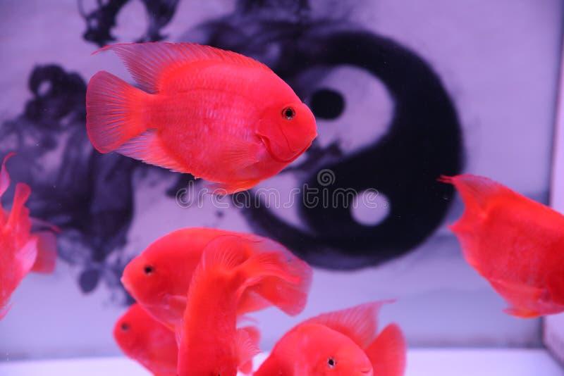 Διακοσμητικά ψάρια, πολύ όμορφα στοκ φωτογραφία με δικαίωμα ελεύθερης χρήσης